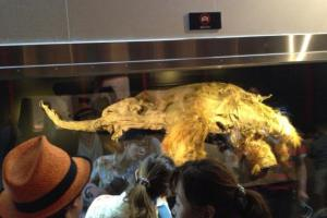 Wooly-mammoth-DNA-successfully-spliced-into-elephant-genome
