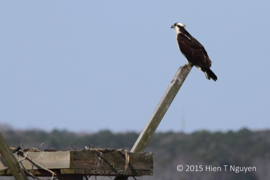 Female Osprey.