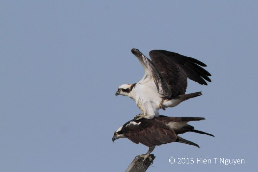 Ospreys starting a family.